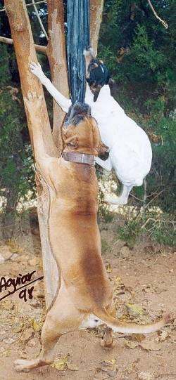 A white with black and tan Perro Ratonero Andaluz is jumping up against a tree to bite a cloth. THere is a larger tan Alano Espanol dog next to it doing the exact same thing.