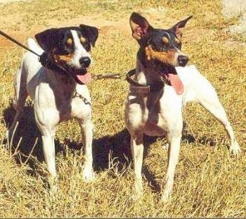 Front view - Two tricolor white with black and tan Perro Ratonero Andaluz dogs are standing in grass looking to the right. One dog has ears that hang down and he other dog has perk ears.