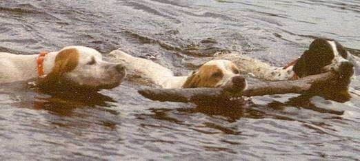 Three Pointers are swimming through a body of water. Two of the dogs are swimming with a stick in their mouths.