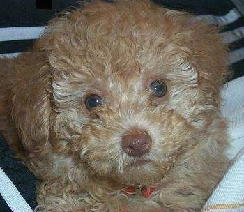 Close up head shot - An apricot Toy Poodle is laying in a persons lap and it is looking forward. The dog has wide round light colored eyes and a brown nose and brown lips.