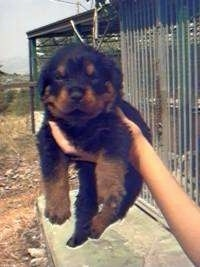 A small black and tan Rottweiler Puppy is being held in the arm by a persons hand.
