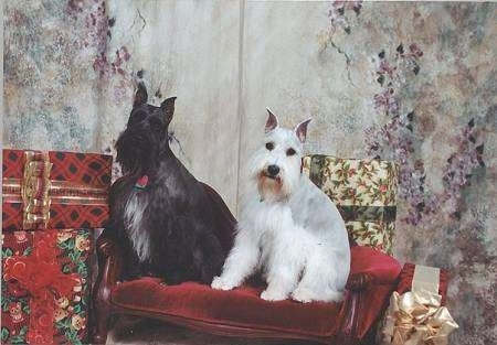 Two Mini Schnauzer dogs sitting side by side on a felt red bench surrounded by Christmas gifts - A black with white dog sitting next to a grey and white dog.
