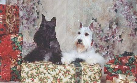 Upper body shots of two dogs laying side by side across a large wrapped Christmas gift with more gifts on the sides of them - A black with a tuft of white Miniature Schnauzer next to a white Miniature Schnauzer.