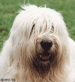 Close up head shot - A tan South Russian Ovtcharka dog is standing in grass, it is looking forward, its mouth is open and it looks like it is smiling. It has long hair hanging over and covering up its eyes and a large black nose.