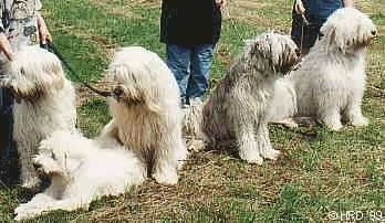 A line of five large breed, long coated, shaggy South Russian Ovtcharka dogs are sitting and laying in a row in grass. There are three people standing behind them.