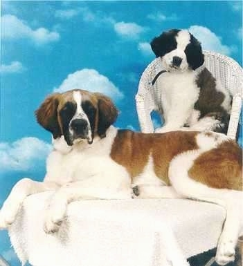 A large brown and white with black Saint Bernard puppy is laying across a table and behind it in a wicker chair is another smaller brown and white with black Saint Bernard puppy thats head is tilted to the right.