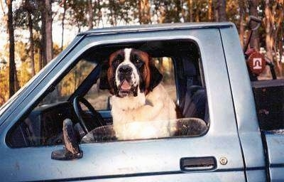 A brown with white and black Saint Bernard is sitting in the driver seat of a truck and it is looking out of a window.
