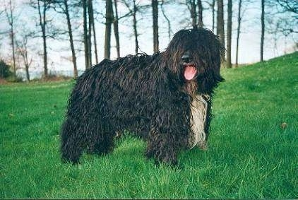 The right side of a wavy-coated, longhaired, black with white Schapendoes dog that is standing at the bottom of a grassy hill. Its mouth is open and tongue is sticking out. The dog has long hair covering its eyes.