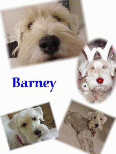 Four images of a white Schnoodle. The word - Barney - is overlayed in the middle left of the image.