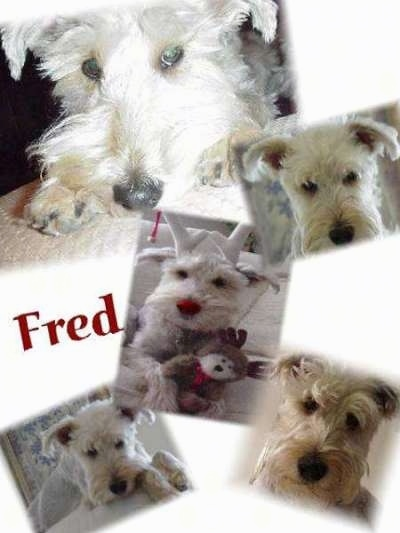 Five images of a white Schnoodle dog. The word - Fred - is overlayed in the middle left of the image.