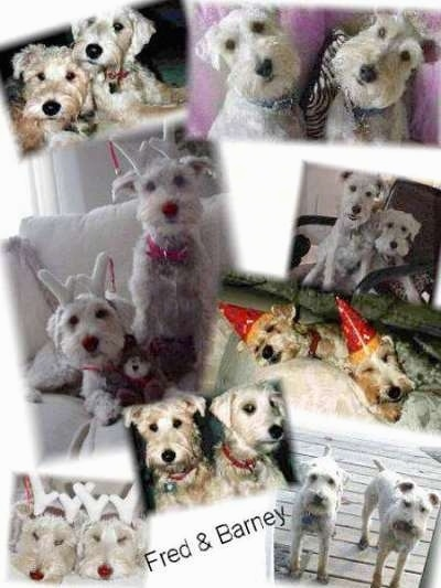 A Collage of images that feature the same two white Schnoodles. The words - Fred & Barney - are overlayed in the bottom middle of the image.