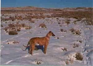 Right Profile - A red Staghound dog standing in a field of snow looking to the right. The dog is wiry looking, high arched with a long dark snout and a long tail.
