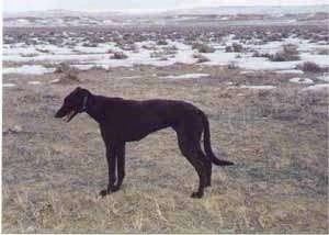The left side of a black Staghound dog standing in grass. Its mouth is open and it is looking to the left. There is patches of snow in the field behind it. The dog is tall with a high arch, a long pointy snout and a long tail that is almost touching the ground.