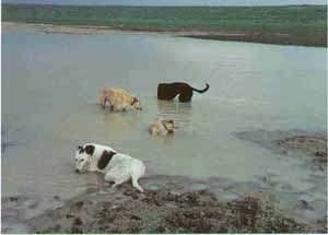 Four Staghounds dogs are playing and laying in a small body of water and mud. One dog is black, two are tan and one is white and black.