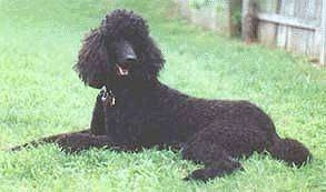 Standard Poodle Puppy Dogs