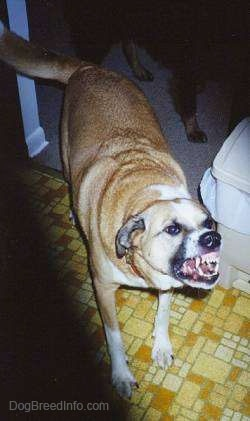 Dog standing aggressively in a kitchen showing its teeth and a lot of gums
