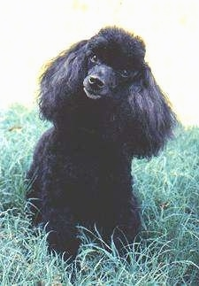 A black Toy Poodle dog standing on grass looking forward and its head is slightly tilted to the right. It has long hair on its ears and a puff of thick hair on the top of its head and a black nose.