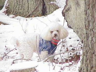 The right side of a small, thick-coated, white Toy Poodle dog standing outside in snow, it is wearing a blue with red and green sweater, it is covered in snow and it is looking forward.