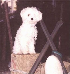 The front right side of a small fluffy white Toy Poodle dog sitting on a wooden block and it is looking forward.