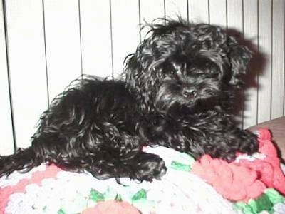 A shiny, black Russian Tsvetnaya Bolonka dog is laying on a white, pink and green knit blanket looking forward with its head tilted to the left.