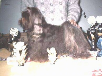 Left Profile - A longhaired, black Russian Tsvetnaya Bolonka dog is being posed in a show dog stack on a table surrounded by trophies. There is a person behind it with its hand on the dog's back.
