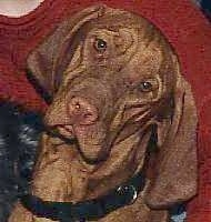 Close up head shot - A red Vizsla is sitting in front of a person and its head is tilted to the right.
