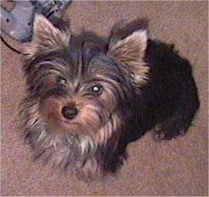 Top down view of a brown with black Yorkshire Terrier that is sitting on a tan carpet and it is looking up. It has pointy perk ears and a black nose. There is a gray Nintendo 64 controller to the left of it.