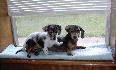Dachshund dogs on window