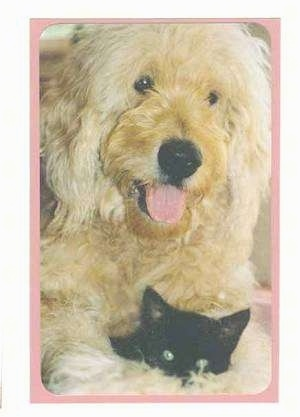 Close Up - A tan Goldendoodle is laying down with is mouth open and tongue out. There is a black kitten in-between its front paws