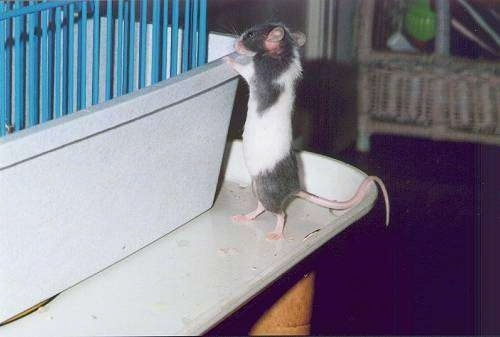 A gray and white mouse is standing on the outside of the corner of a gray and blue cage.