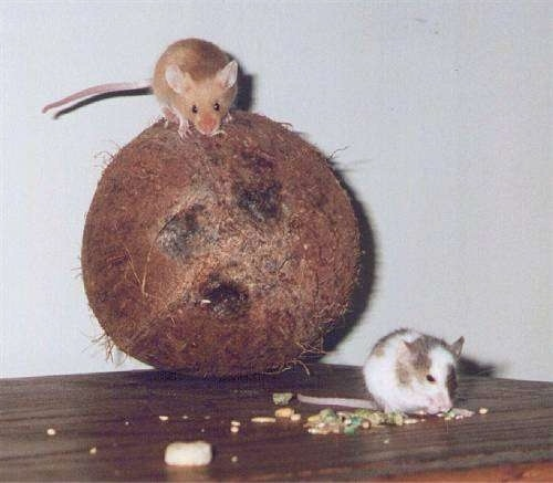 A brown mouse is standing on top of a coconut and next to it is a gray and white mouse that is eating food.