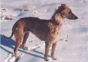 The right side of a wiry-looking, tall, high arched, tan with white Staghound dog standing across snow and looking to the right. The dog has a long pointy snout.