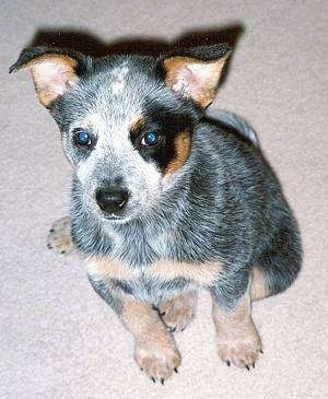 Topdown view of a Australian Cattle puppy that is sitting on a carpet and it is looking up.