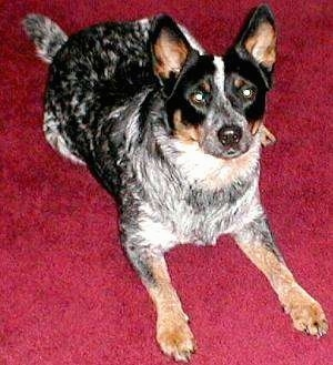Storm the Australian Cattle Dog is laying down on a bright red carpet