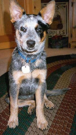 A merle Australian Cattle Dog is sitting on a rug and it is looking forward. Its mouth is slightly open.