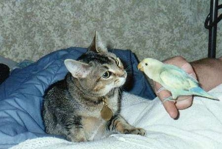 Fiona the cat is laying on a bed as a human lowers Monty the bird, who is perched on a finger, down for the cat to smell