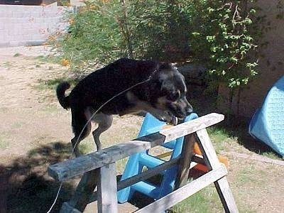 Buck the German Shepherd/Rottweiler/Husky Mix is jumping over a wooden horse bar in the backyard of a house