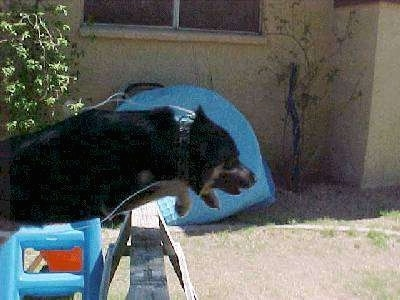 Buck the German Shepherd/Rottweiler/Husky mix is in mid-air jumping over a wooden horse in a backyard