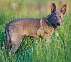 The right side of an American Indian Dog that is standing in tall grass with its ears up and it is looking forward.