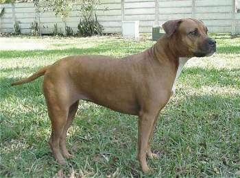 The right side of a brown with white Staffordshire Terrier that is standing across a lawn and there is a wooden fence behind it.