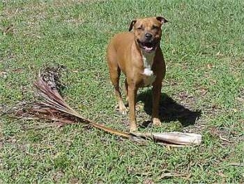 A brown with white Staffordshire Terrier is standing on a lawn, next to a tree branch with its mouth open and it is looking forward.