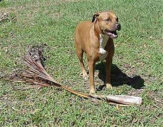 The front right side of a brown with white Staffordshire Terrier that is standing on a lawn, next to a palm tree branch and it is looking to the right.