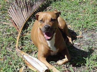 A brown with white Staffordshire Terrier is laying in a yard next to a very large dried out palm tree branch. Its mouth is open and it looks like it is smiling.