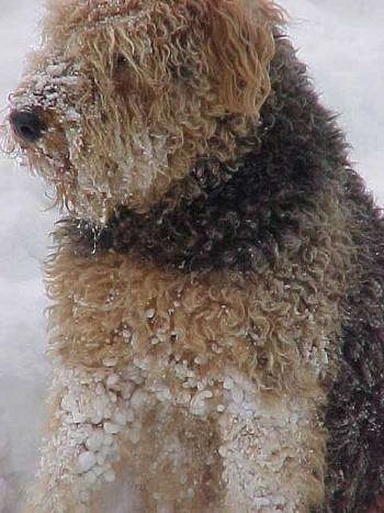 Close up - The body of a thick coated black with tan Airedale Terrier that is sitting outside in snow with snow stuck to its coat.