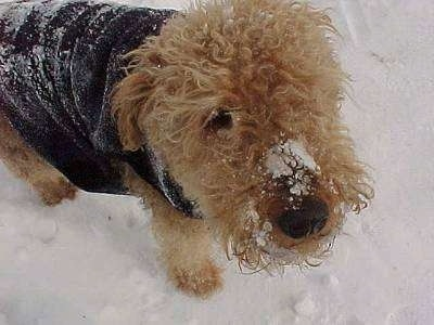 Close up - Topdown view of a black with tan Airedale Terrier that is standing in snow with a jacket on and snow on its face.
