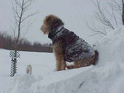 The left side of a black with tan Airedale Terrier sitting in front of a snow mound with a jacket.