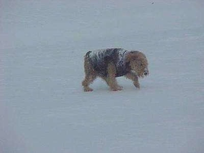 The right side of a black with tan Airedale Terrier, that is wearing a jacket and it is walking across snow.