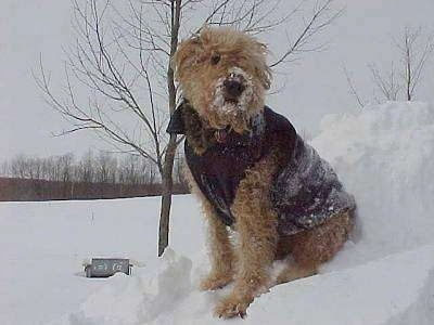 The front left side of a black with tan Airedale Terrier that is sitting in snow with a jacket on and it has snow stuck in its fur and around its mouth.