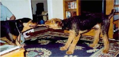 Ransom the Airedale Terrier and Reese the Rotterman are having a tug of war in a house.