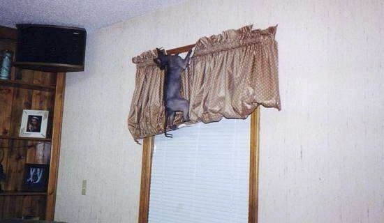 Tierra the Sphynx Cat is hanging on to a curtain at the top of a window